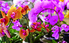 Assorted Orchids-short