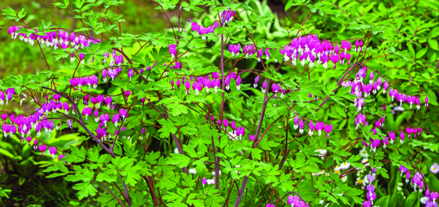 Bleeding-Heart-Shrub