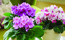 African Violets on coffee table-short