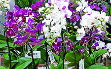 Phalaenopis Orchids in GH-short