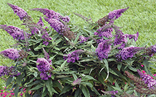 Pugster Butterfly Bush-small