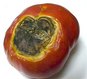 BLOSSOM END ROT ON TOMATO